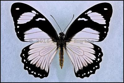 Papilio Dardanus Tibullus form Hippocoonides -Female