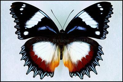 Hypolimnas Dexithea(Madagascar Diadem) -Male