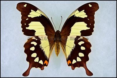 Papilio Pelodorus -Female