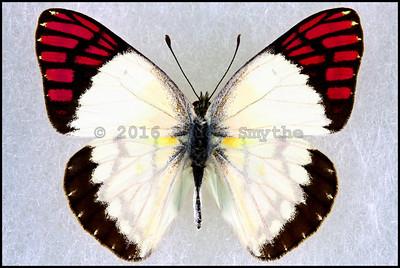 Colotis Celimene Sudanicus -Male