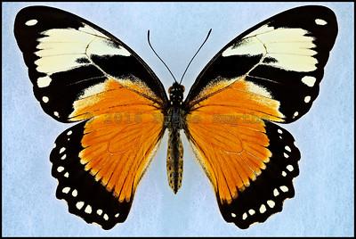 Papilio Dardanus Tibullus form Lamborni -Female