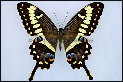 Papilio Ophidicephalus(Emperor Swallowtail) -Male