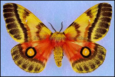 Nudaurelia Fuelleborniana -Female