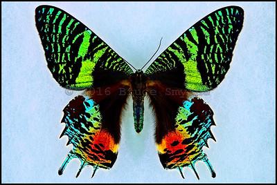 Chrysiridia Croesus(East African Sunset Moth) -Female -Recto