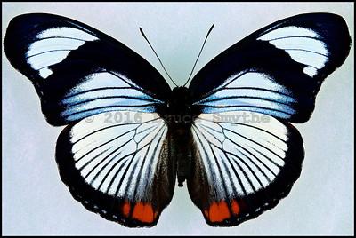 Hypolimnas Usambara(Red-Spot Diadem) -Female