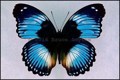 Hypolimnas Salmacis(Blue Diadem) -Male