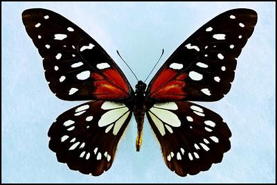 Papilio Rex Mimeticus -Male