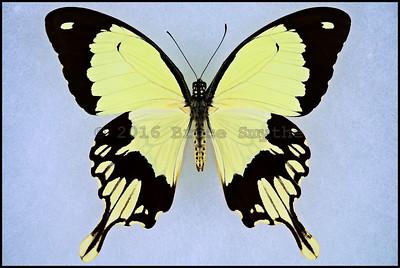 Papilio Dardanus ssp. -Male -Unusual Form