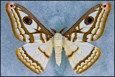 Heniocha Marnois -Male