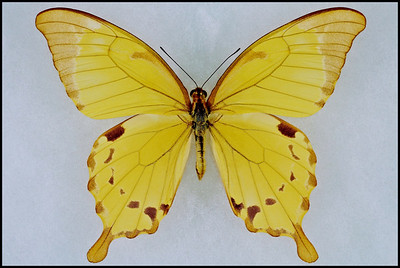 Papilio Nobilis Crippsianus(Noble Swallowtail) -Male