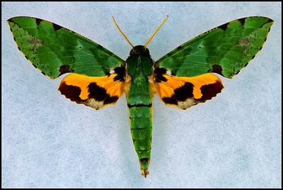 Euchloron Megaera(Verdant Hawk-Moth) -Male
