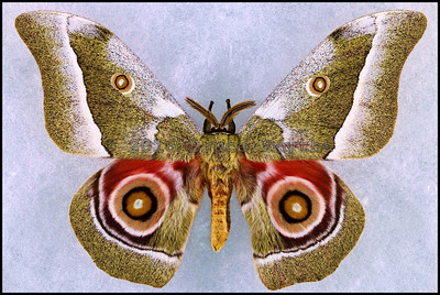 Gonimbrasia Zambesina -Male