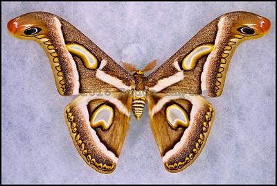 Epiphora Rectifascia -Male
