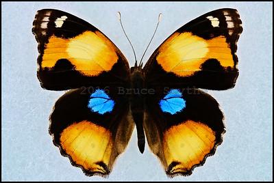 Junonia Hierta Cebrene(Yellow Pansy) -Male