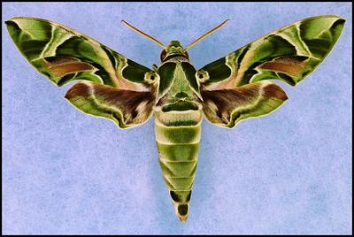 Daphnis Nerii(Oleander Hawk-Moth) -Male