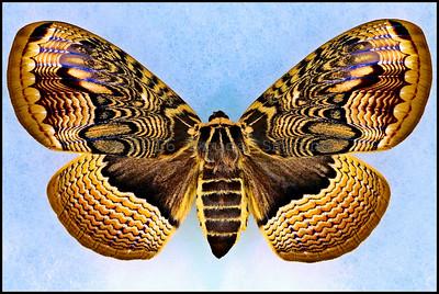 Brahmaea Certhia -Female