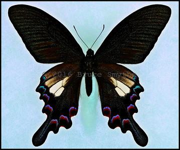 Papilio Syfanius(White Form) -Male