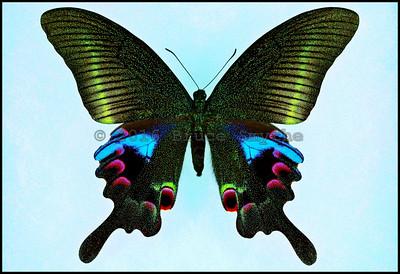 Papilio Arcturus Arcturus -Female