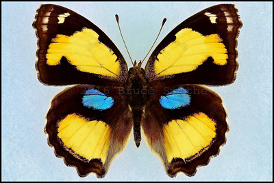 Junonia Hierta Hierta(Yellow Pansy) -Male