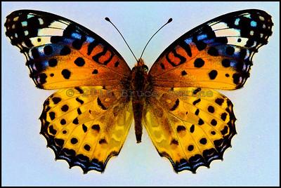 Argynnis Hyperbius(Indian Fritillary) -Female