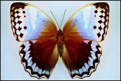 Stichophthalma Camadeva(Northern Jungle Queen) -Male