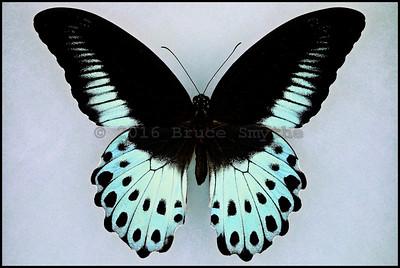 Papilio Polymnestor Polymnestor(Blue Mormon) -Male
