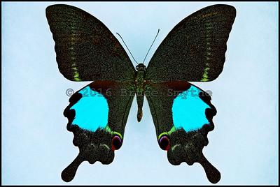 Papilio Paris Tamilana -Male