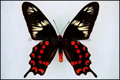 Pachliopta Hector(Crimson Rose) -Male