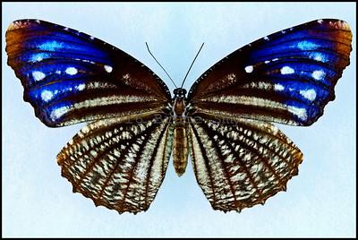 Elymnias Malelas Malelas(Bengal Spotted Palmfly) -Female