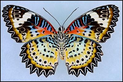 Cethosia Cyane(Leopard Lacewing) -Female -Verso