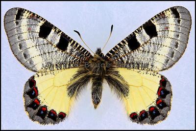 Archon Apollinus Bellargus -Female