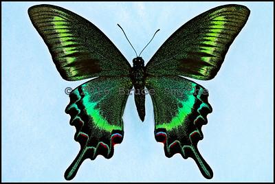 Papilio Maackii Tutanus(Green Form) -Male