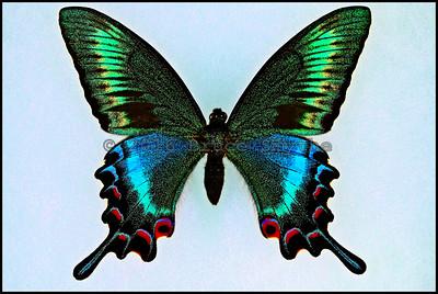 Papilio Maackii Tutanus(Blue-Green-3) -Male