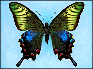 Papilio Bianor Tokaraensis -Female