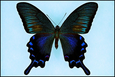 Papilio Bianor Amamiensis -Male