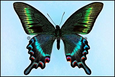 Papilio Maackii Tutanus(Blue-Green-1) -Male
