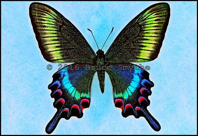 Papilio Maackii Tutanus -Female