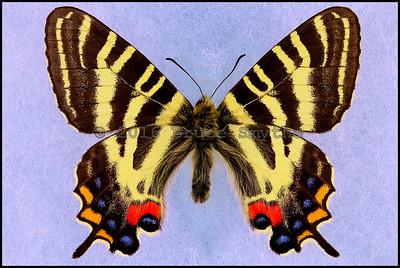 Luehdorfia Japonica -Male
