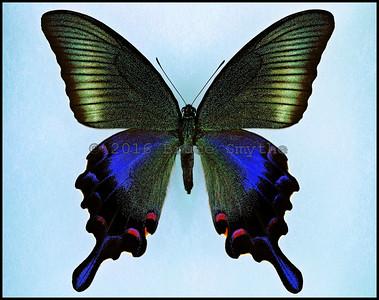 Papilio Bianor Hachijonis -Female