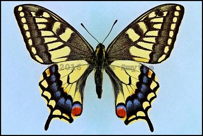 Papilio Machaon Hippocrates -Male