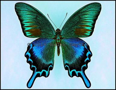 Papilio Bianor Tokaraensis -Male