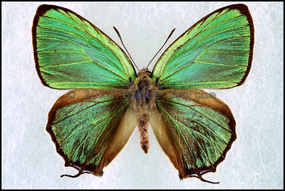 Chrysozephyrus Ataxus Kirishimaensis -Male
