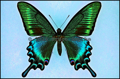 Papilio Maackii Tutanus -Male