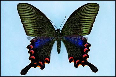 Papilio Bianor Okinawensis -Female