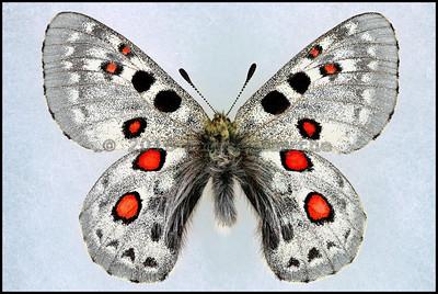 Parnassius Tianschanicus Alexander -Male