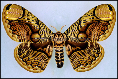 Brahmaea Wallichii -Female