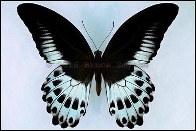 Papilio Polymnestor Parinda(Blue Mormon) -Male