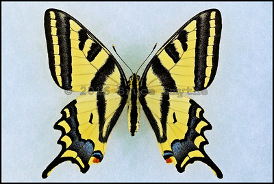 Papilio Alexanor ssp.(Southern Swallowtail) -Female -Turkey