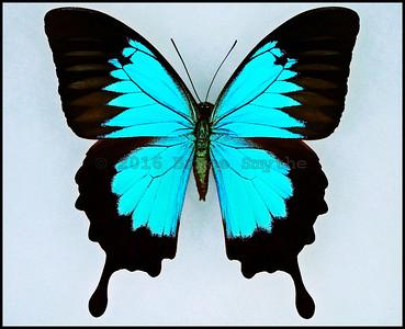 Papilio Ulysses Joesa -Male