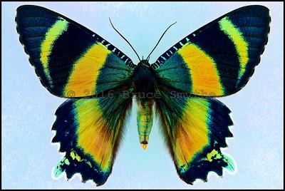 Alcides Metaurus(Zodiac Moth) -Female